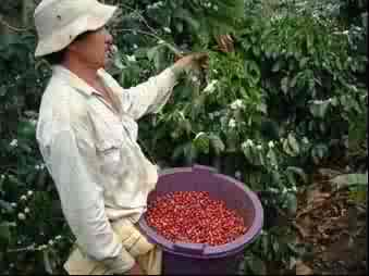 Picking ripe coffee cherries in Costa Rica