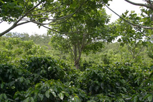 Shade grown coffee at Hacienda La Amistad in Costa Rica