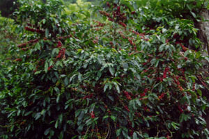 Coffee bushes ripe for picking at Hacienda La Amistad in Costa Rica